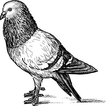 pigeon google
